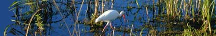 image of a ibis poking around in the everglades